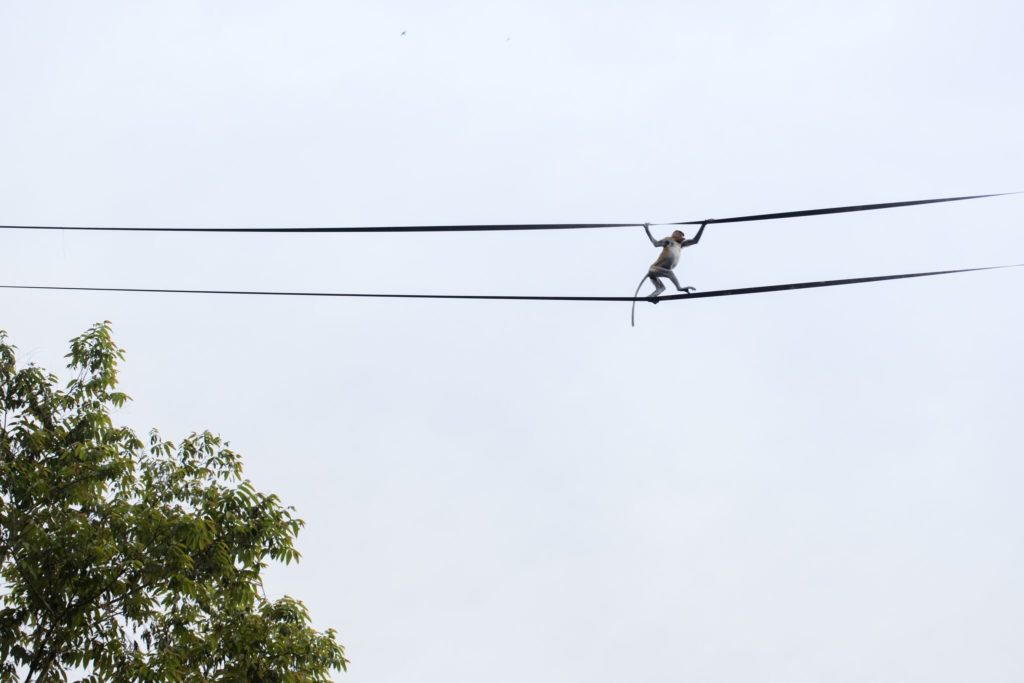 Monkey crossing river on ropes in Borneo