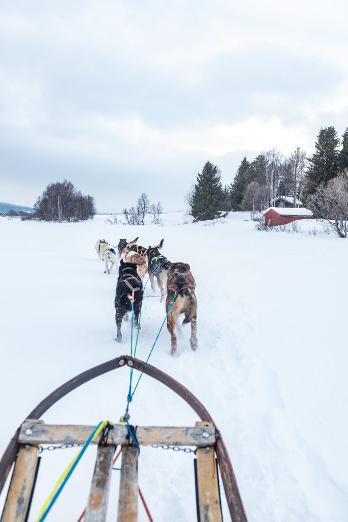 Dogsledding with pack of dogs in Roros Norway over white snow in winter